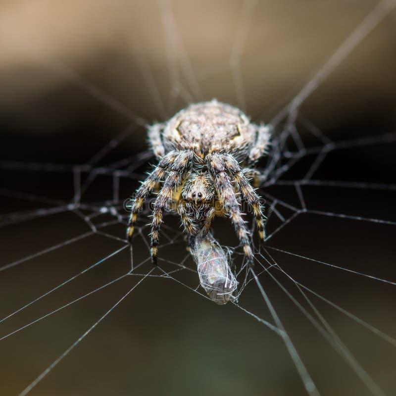 Trappola di web della preda e del ragno su fondo scuro immagine stock libera da diritti