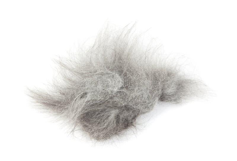 Trapuntare di capelli dopo la rasatura del gatto immagine stock libera da diritti