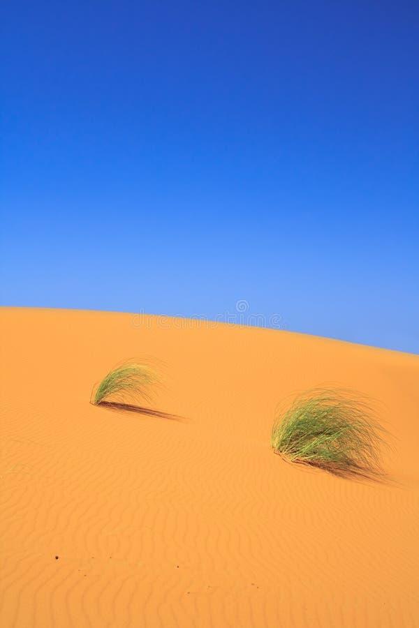 Trapuntare soli di erba sulla duna di sabbia fotografia stock