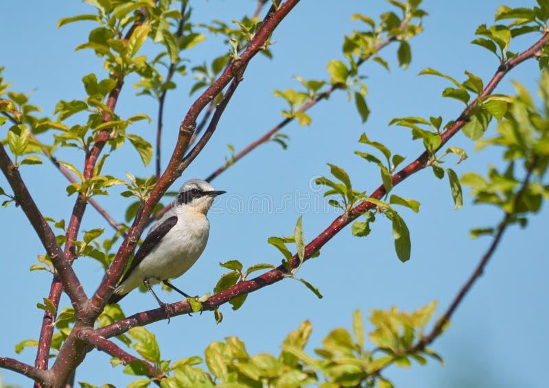 Traquet d'Isabelline, un petit oiseau migrateur, se reposant sur une branche d'arbre image libre de droits