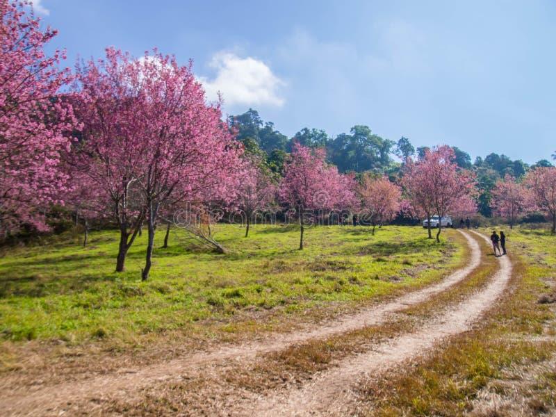 Trasa samochodu dla turystów w różowym lesie Sakura z błękitnym niebem Prunus cerasoides w Tajlandii obrazy stock