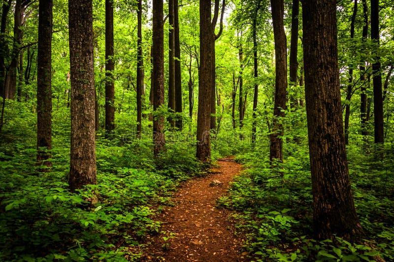 Trascini attraverso gli alberi alti in una foresta fertile, parco nazionale di Shenandoah fotografie stock