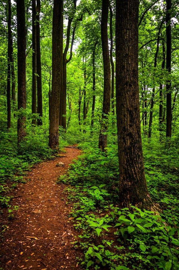 Trascini attraverso gli alberi alti in una foresta fertile, parco nazionale di Shenandoah immagine stock