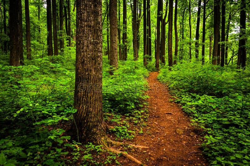 Trascini attraverso gli alberi alti in una foresta fertile, parco nazionale di Shenandoah fotografia stock libera da diritti