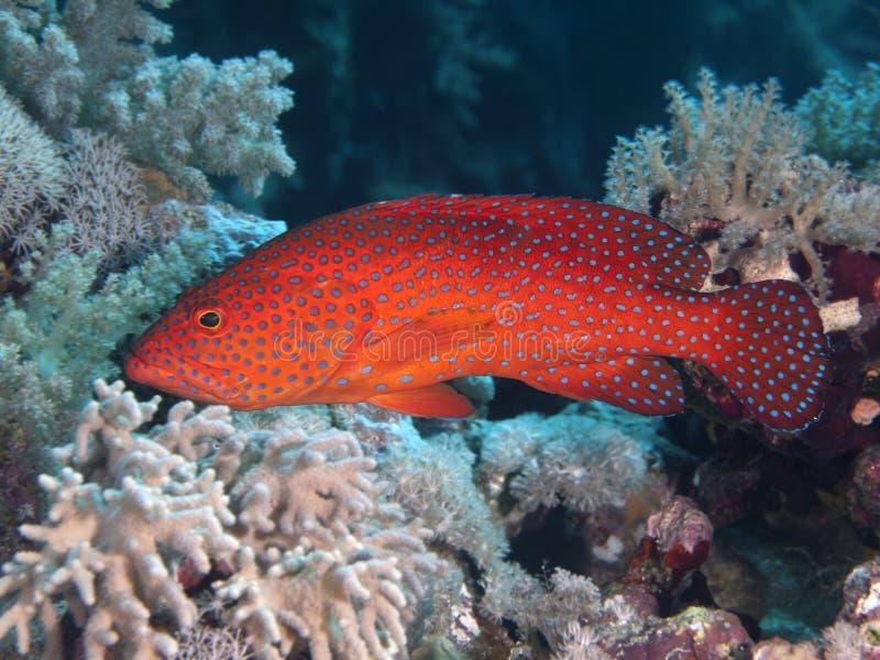 Coral traseiro imagem de stock royalty free