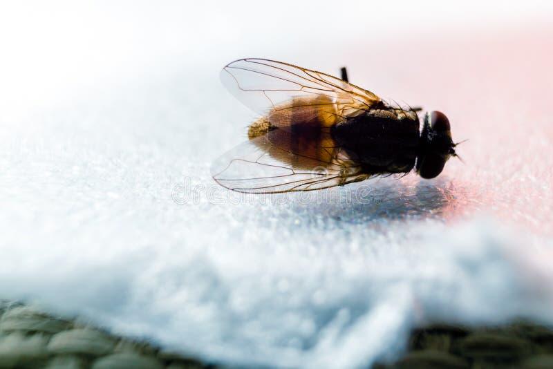 Trasero anterior de la mosca foto de archivo
