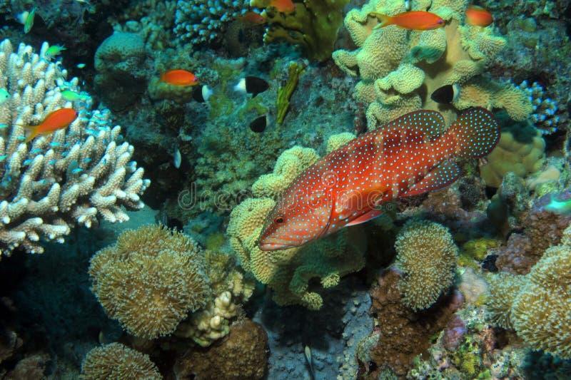 Trasero coralino en el filón de Shelenyat foto de archivo libre de regalías