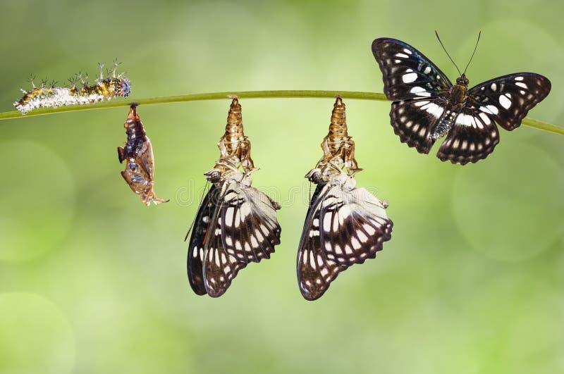 Trasformazione dalla crisalide della farfalla Nero-venata di sergente fotografia stock libera da diritti