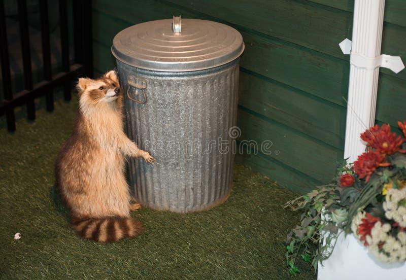 Trash panda royalty free stock images