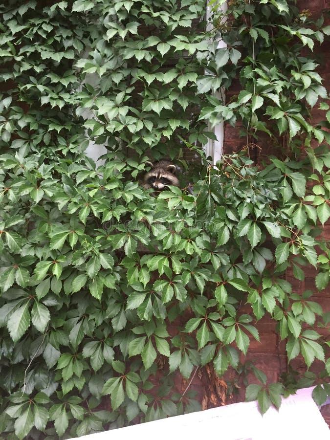 Baby raccoons stock photo