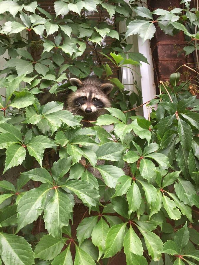 Baby raccoons stock photography