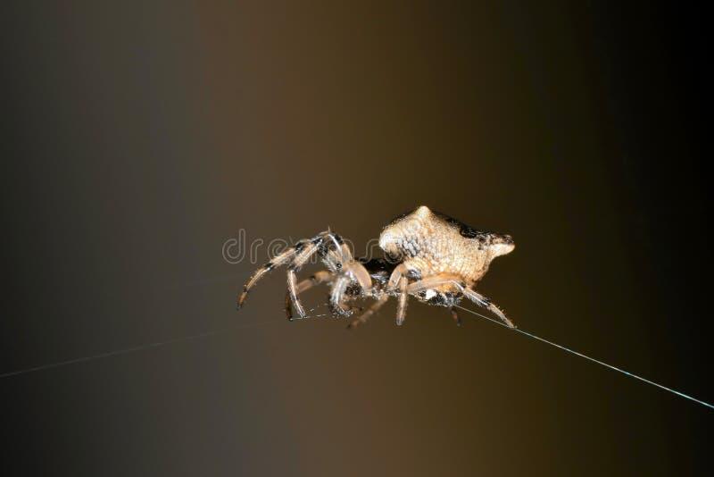 Trashline Orb Weaver spider centered. Trashline Orb Weaver spider centered between two strands of spider web in Houston, TX royalty free stock photography
