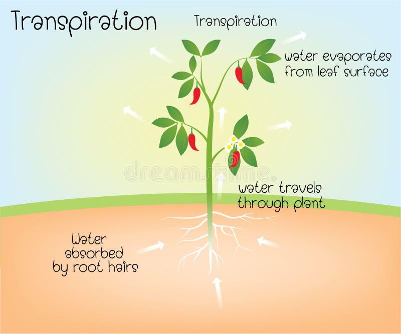 Traspirazione in pianta illustrazione vettoriale