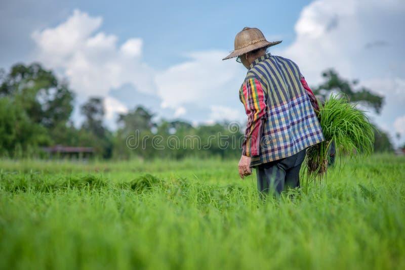 Trasplante los almácigos del arroz en el campo del arroz, granjero es almácigo aislado y golpea película del suelo con el pie ant fotos de archivo