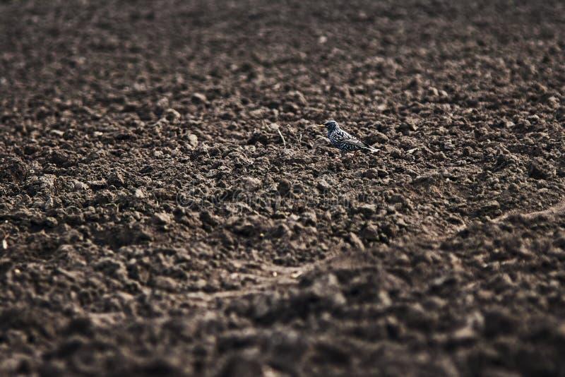 Trasten av fågeln går på åkermark, en på ploga royaltyfri foto