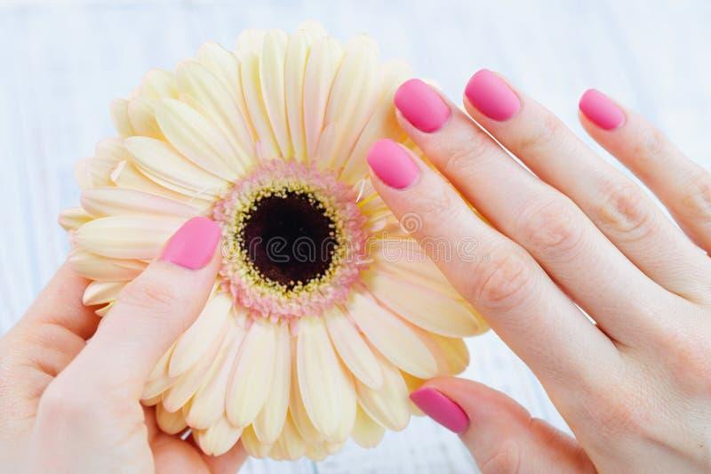 Tratamento de mãos cor-de-rosa e flor delicada da margarida fotografia de stock royalty free