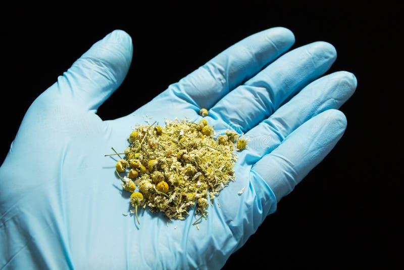 Tratamiento homeopático, flores secadas de la manzanilla en la mano de un doctor en un guante médico azul en un fondo negro imagen de archivo