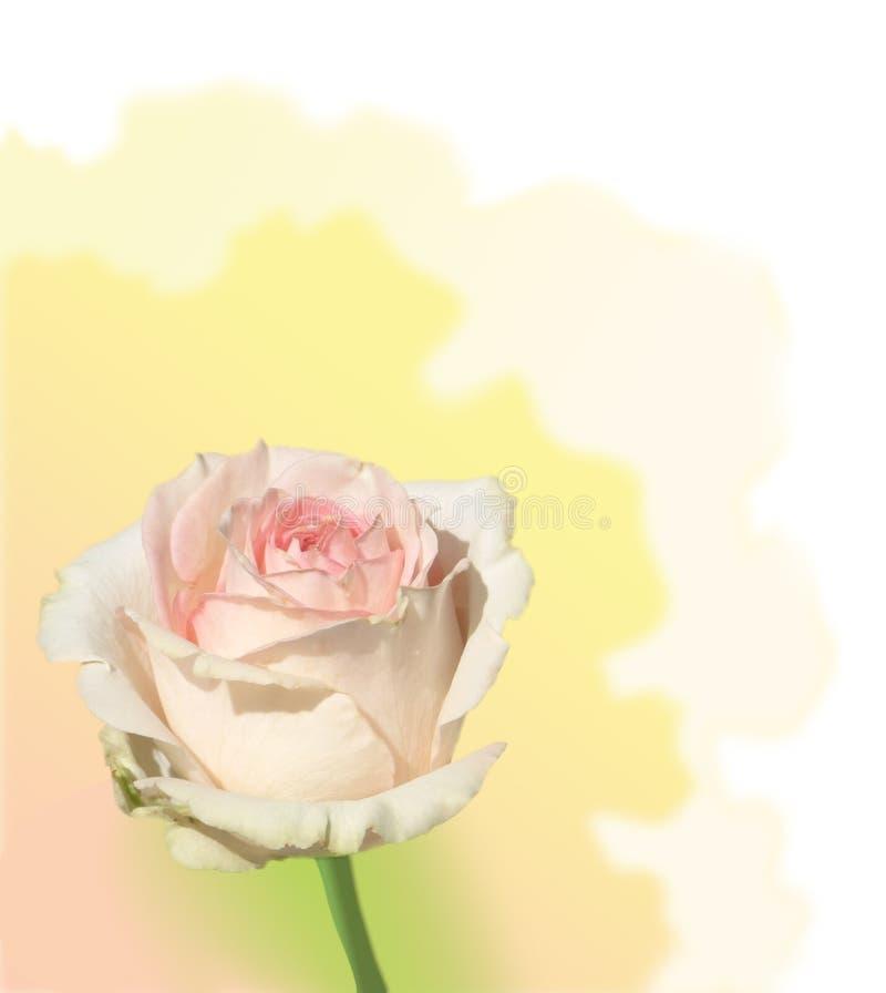 Trate Color De Rosa Con Suavidad Foto de archivo
