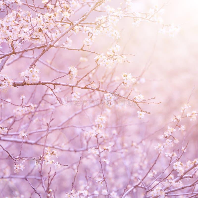 Árbol frutal floreciente foto de archivo