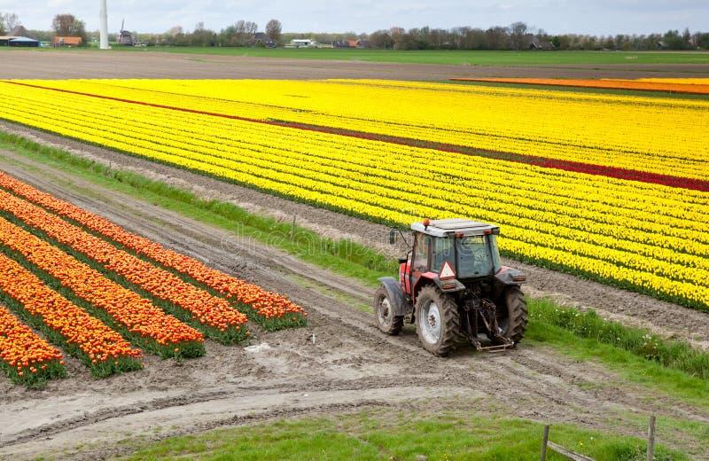 Trator no campo do tulip imagem de stock royalty free