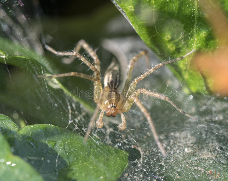 Tratt Weaver Spider, Agelenopsis arkivfoto