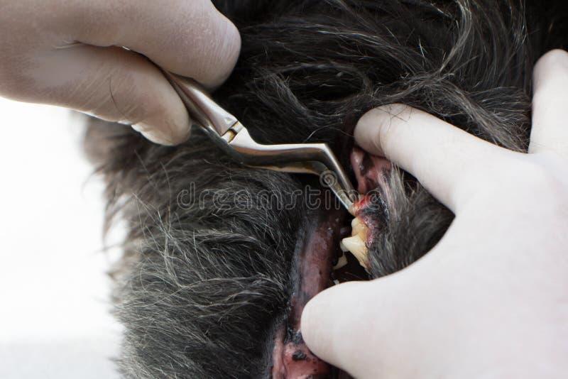 Trattamento veterinario dei denti di cane fotografia stock libera da diritti