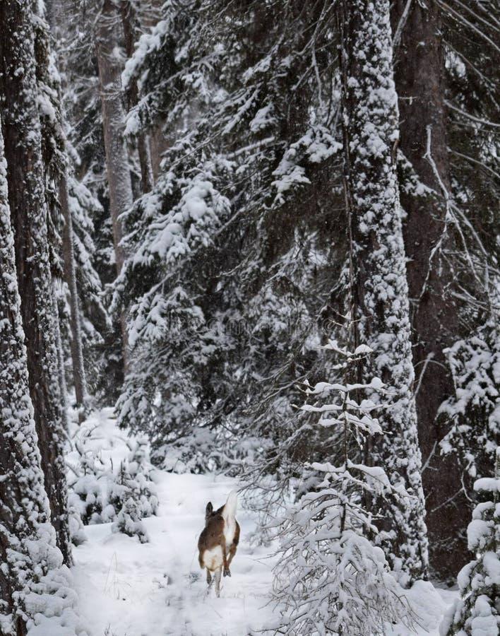 Tratteggiando attraverso la neve fotografia stock