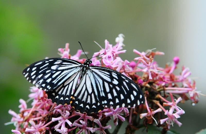 trattino di amore dei trattori a cingoli della foglia della farfalla fotografia stock libera da diritti