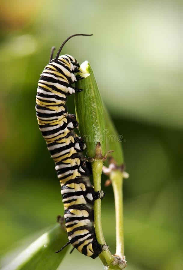 Trattore a cingoli della farfalla di monarca fotografia stock