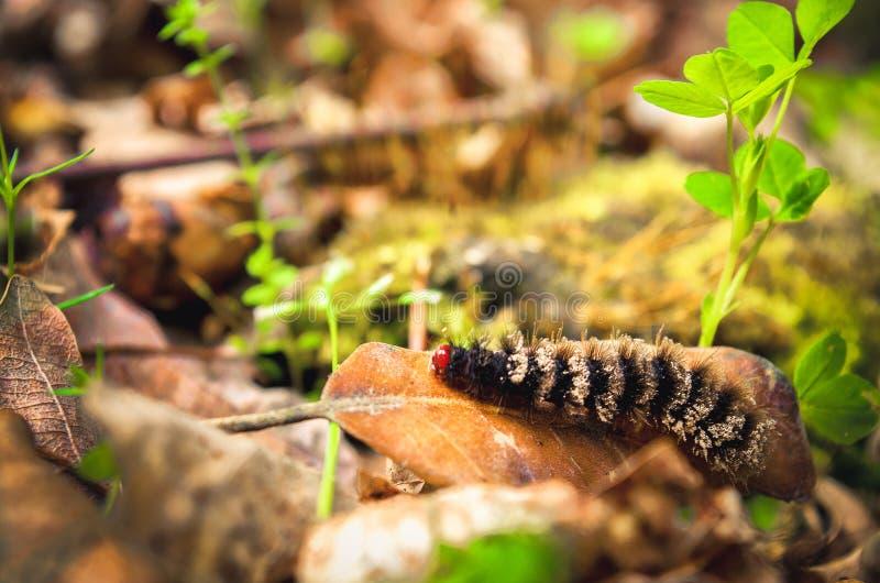 Trattore a cingoli peloso della larva della larva nera con la testa di rosso fotografia stock libera da diritti