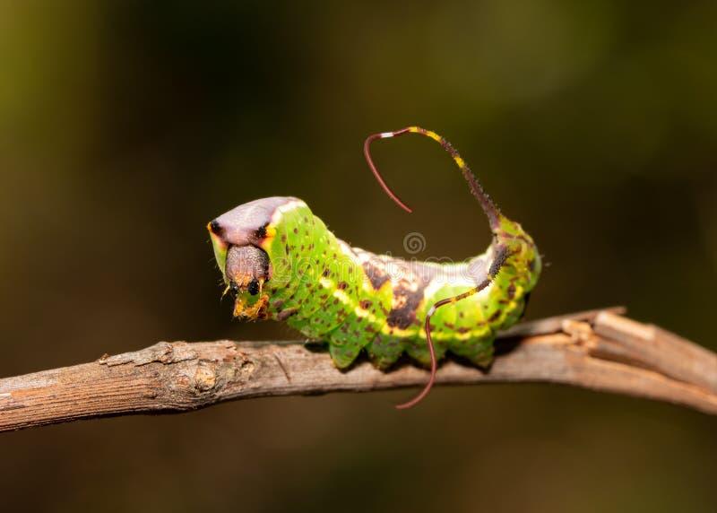 Trattore a cingoli recente del instar del lepidottero prominente Nero-inciso fotografia stock