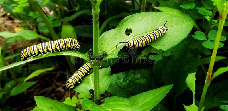 Trattori a cingoli del monarca immagine stock