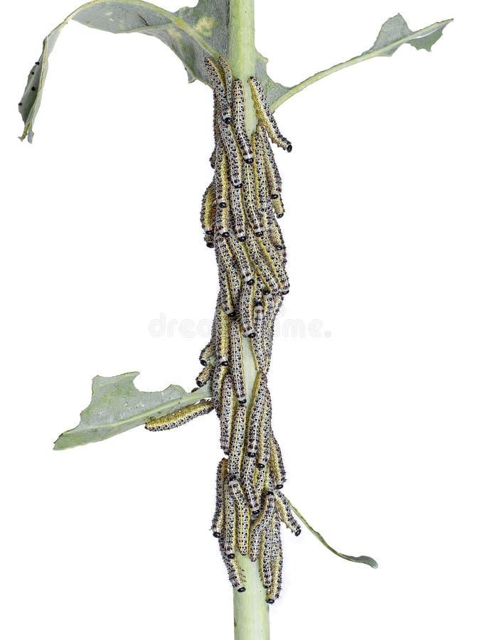 Trattori a cingoli di grande farfalla di bianco di cavolo Brassi del Pieris immagine stock