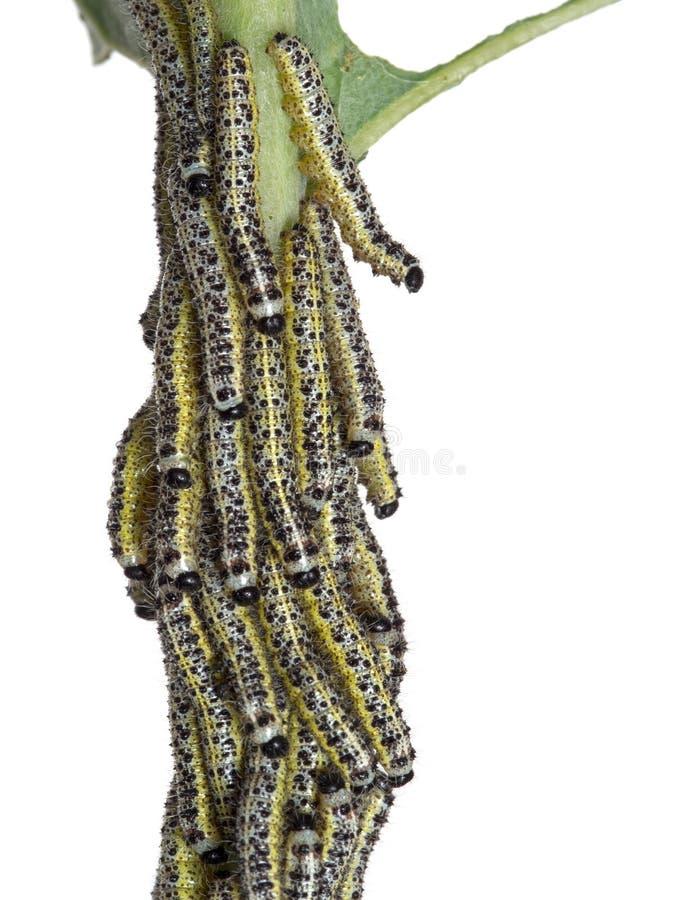 Trattori a cingoli di grande farfalla di bianco di cavolo Brassi del Pieris fotografia stock libera da diritti