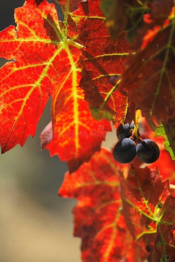 Traube geerntet für Weinproduktion lizenzfreies stockfoto
