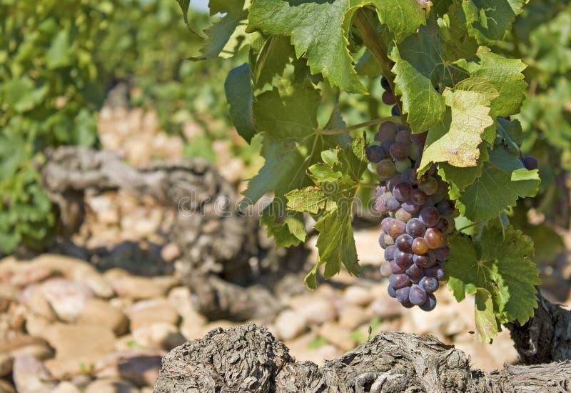 Traube Im Weinberg. Provence. Stockbild - Bild von getränk, kiesel ...