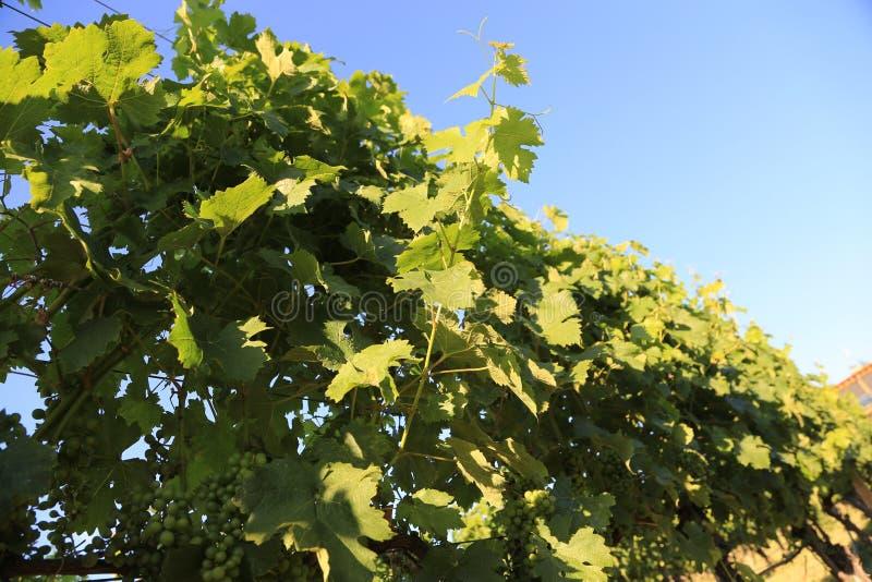 Trauben überlässt in Folge dem Baden in der Sonne auf eine Reise der Rebvorderen Abdeckung europäisches Weinanbaugebiet! lizenzfreies stockfoto