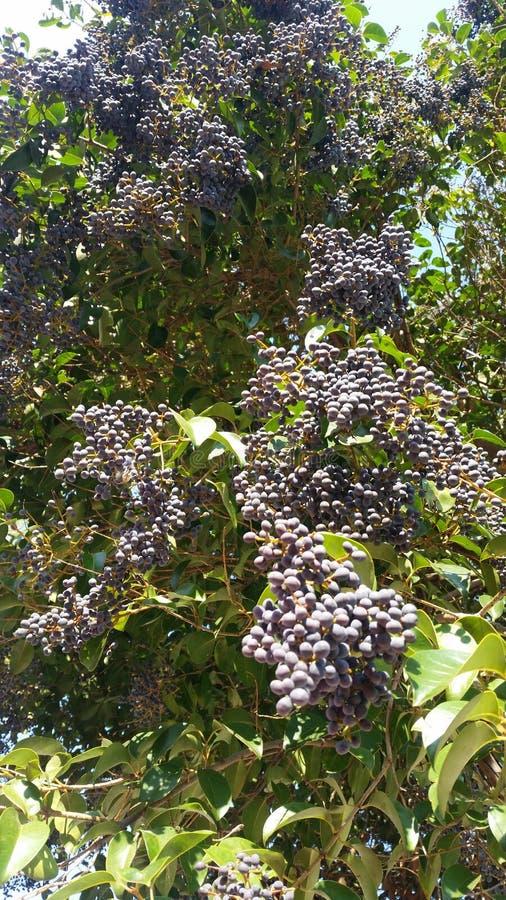 Trauben bereit zum Sammeln stockfotos