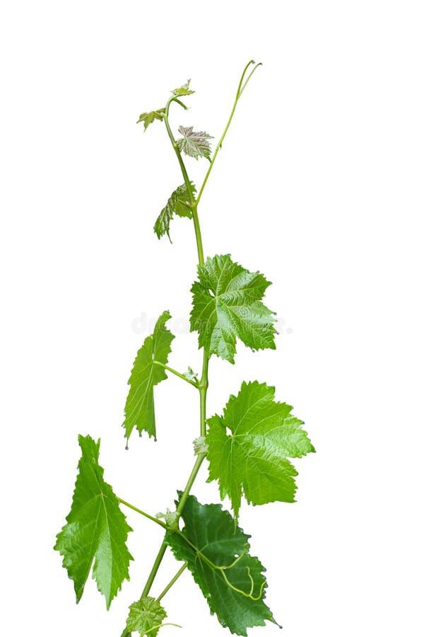 Trauben-Blätter lizenzfreie stockfotos