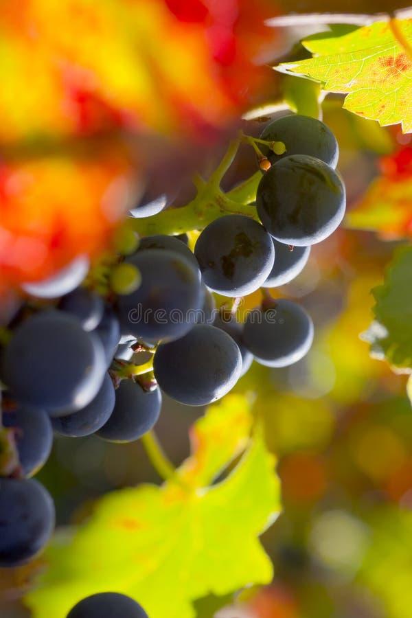Trauben des Rotweins stockbild
