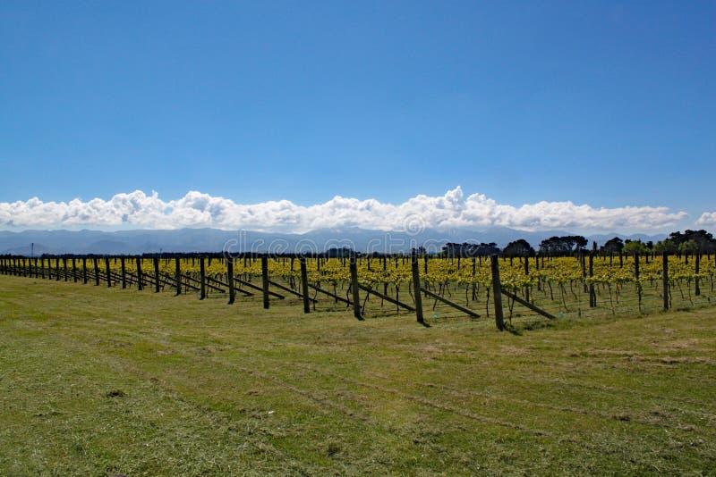 Trauben, die in der Weingegend von Martinborough in Neuseeland wachsen stockbilder