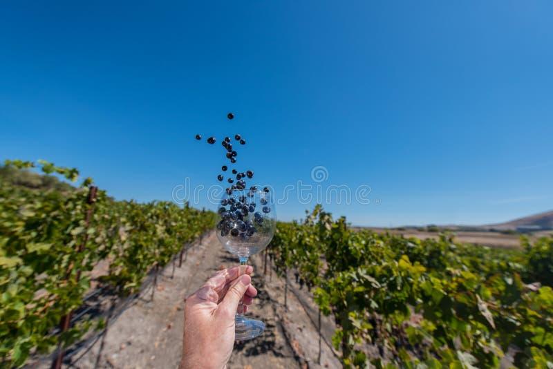 Trauben fliegen aus dem Weinglas heraus, das in einer Hand gehalten wird stockbild