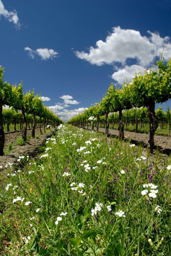Trauben-Reben Und Weiße Blumen Stockfoto - Bild von frühling ...