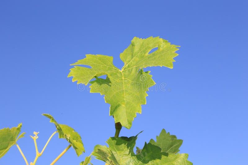 Traubenblatt, das in der Sonne auf einer Reise der Rebvorderen Abdeckung zum europäischen Weinanbaugebiet badet! stockbild