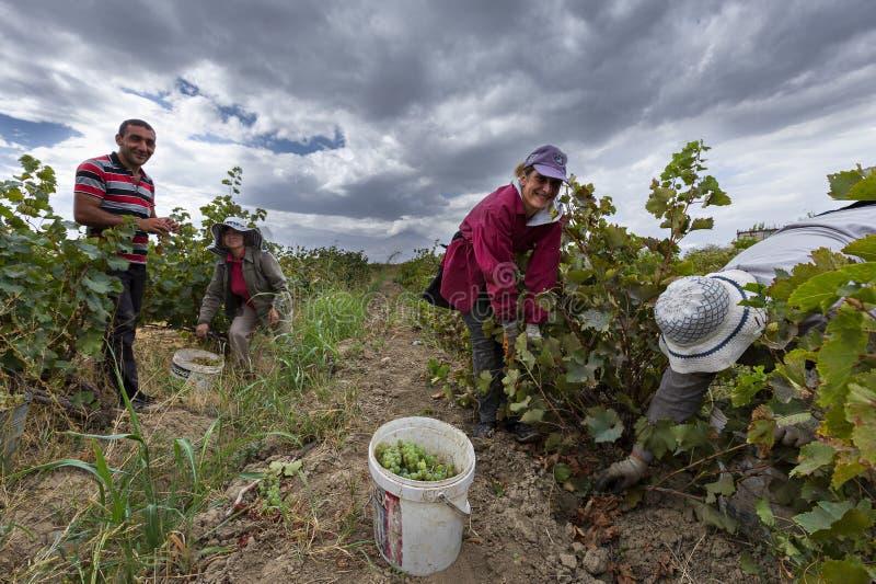 Traubenernte in Armenien stockfotos