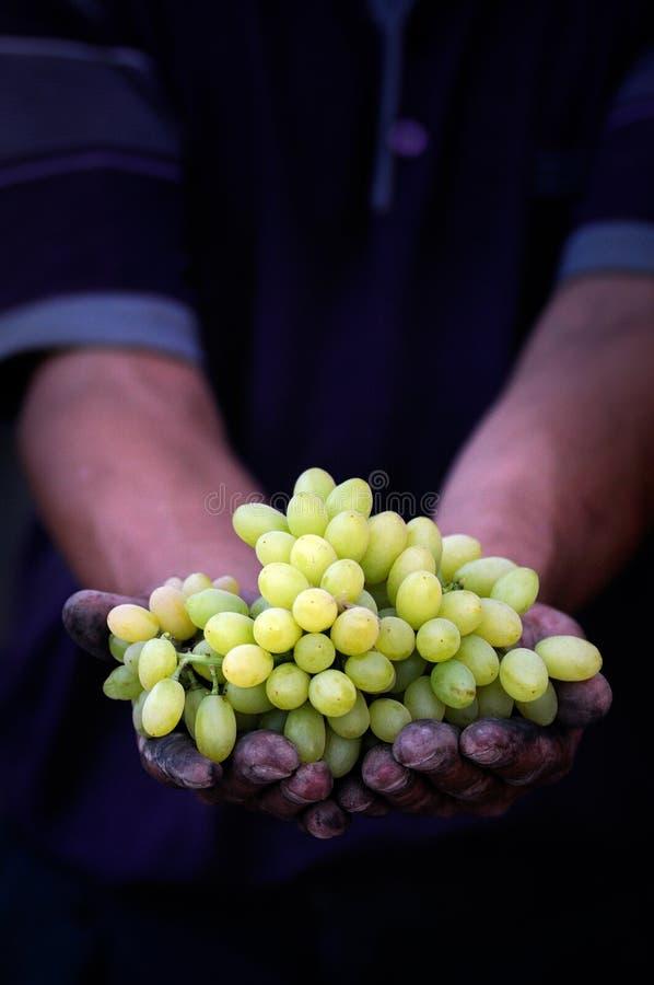 Traubenernte in den Landwirthänden lizenzfreies stockbild