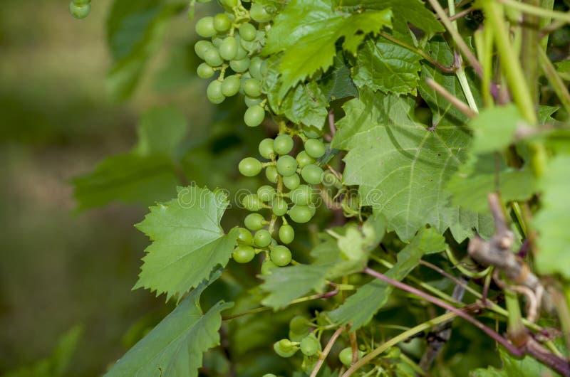 Traubengrün auf dem Busch unausgereift stockfotos