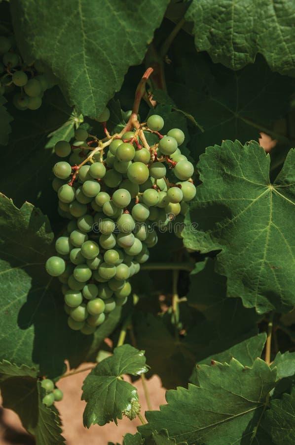 Traubengruppe auf Zweig der Rebe in einem Weinberg lizenzfreies stockbild