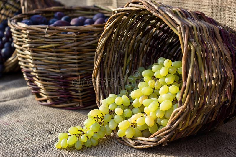Traubenherbsternte-Weidenkorb mit kürzlich geernteten weißen Trauben auf Leinwandhintergrund stockbilder