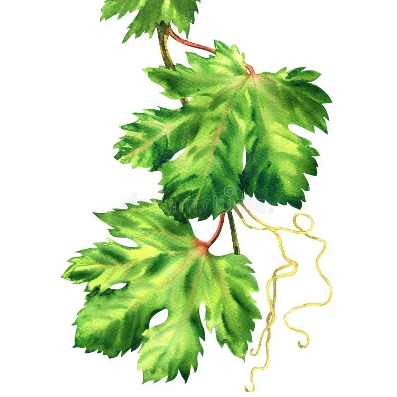 Traubenniederlassung, Weinblätter, frisches grünes Blatt, lokalisiert, Handgezogene Aquarellillustration auf Weiß lizenzfreie abbildung